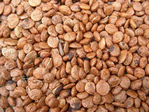 Cananga odorata 20 graines d/'YLANG YLANG