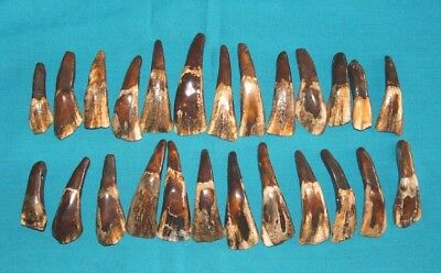 25 GENUINE BUFFALO TEETH w/ Pre Drilled Holes  Coffee Stained Native Jewelry