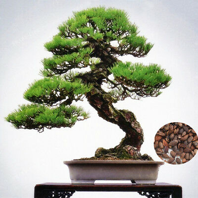 50pcs Mini Japanese Pine Seeds Bonsai Plant Tree House Herb Garden