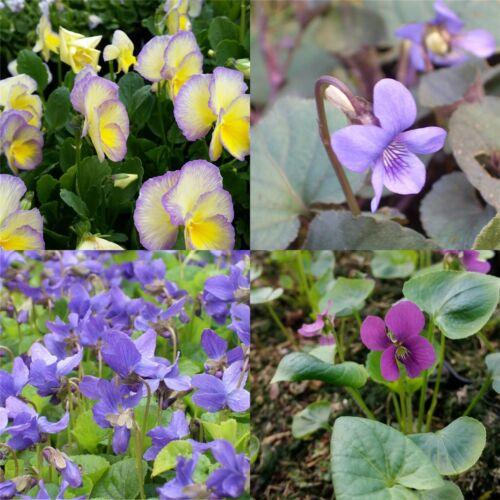10 Stauden Pflanzen Veilchen Mix Viola Pflanzfertig Beet Kübel Bunt