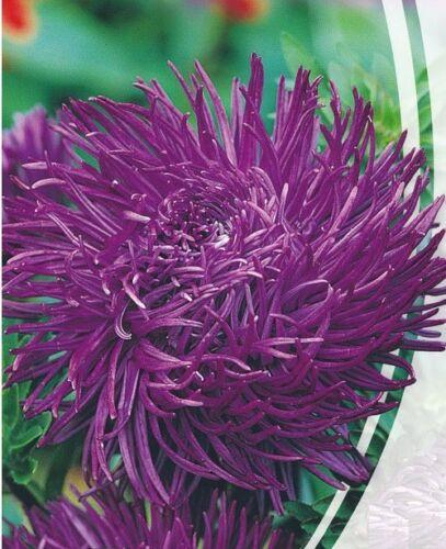 Astra krallen Parsifal Seeds purple aster organic non gmo Ukraine 0.3 g