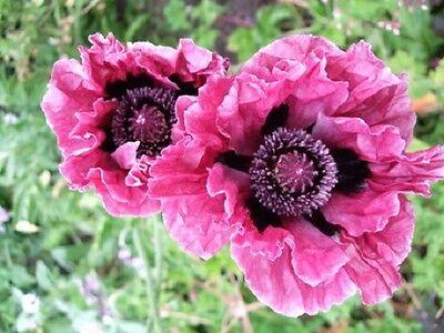 35+ Plum Pudding Poppy Flower Seeds / Perennial / Papaver Oriental