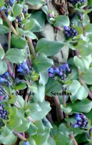Mertensia Maritima - Planta Comestible Con Sabor A Ostras - 5 Semillas Seeds