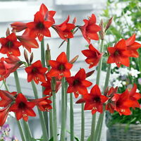 Alaska Red Garden Amaryllis - 14/16 Cm Bulb - Outdoor Or House Plant