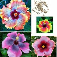 Local Farmer Giant Hibiscus Exotic Coral Flower 100 Seeds Mix Rare Blue Colors