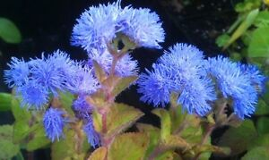 AGERATUM-Blue-100-seeds-purple-blue-flower-garden-seeds-EASY-TO-GROW-in-pots