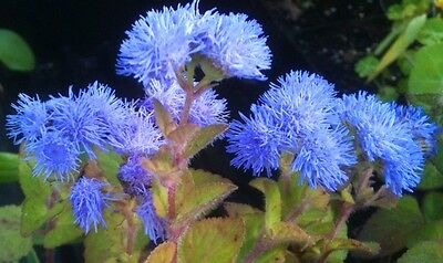 AGERATUM 'Blue' 100 seeds purple blue flower garden seeds EASY TO GROW in pots