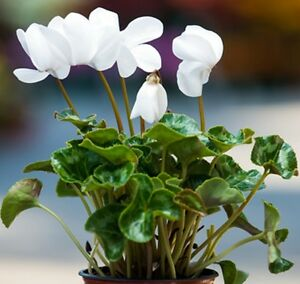 Image Is Loading White Cyclamen Long Lasting Flowering Indoor Plant In