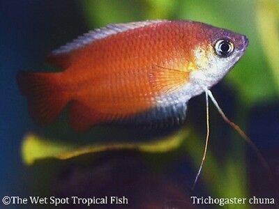 "(6) 1.5"" Honey Dwarf Gourami Trichogaster chuna live freshwater tropical fish"