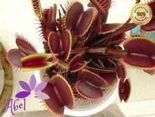 Venus Flytrap Maroon Seeds Dionaea Muscipula Carnivorous 100 pcs