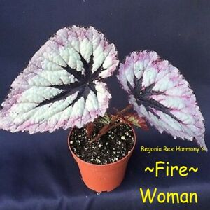 FIRE-WOMAN-Harmony-039-s-Rex-Begonia-Gorgeous-HOUSEPLANT-LIVE-Small-Potted-PLANT