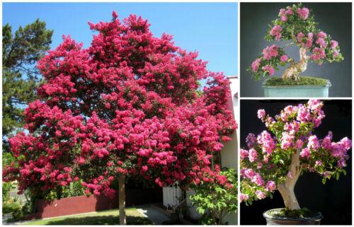 Lilas des Indes graines bonsaï F 50 graines de Lagerstroemia indica