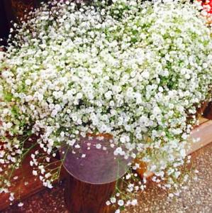 GYPSOPHILE-paniculata-plantes-vivaces-Jardin-Fleurs-Bonsai-Plant-100-PIECES-Graines
