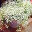 GYPSOPHILE-paniculata-plantes-vivaces-Jardin-Fleurs-Bonsai-Plant-100-PIECES-Graines miniature 1