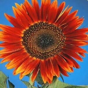 SCHÖN und ROT! Sunflower 20 Samen Sonnenblume Avondzon