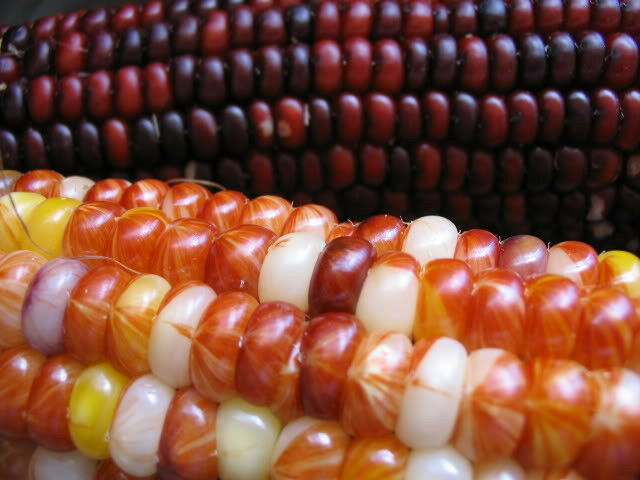 100 ORNAMENTAL INDIAN CORN WAMPUM Mixed Colors Zea Mays Vegetable Seeds + Gift