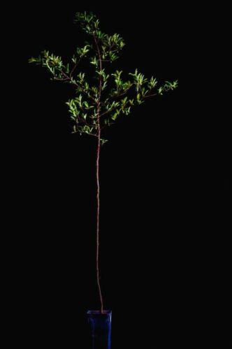 PRUNUS SPINOSA 1 Pianta vaso 9x9x20 cm prugnolo selvatico fiori miele bacche