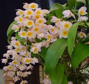 Rare-orchid-species-seedling-Dendrobium-Farmerii