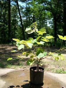 Fredonia Grape 3 Gal. Live Vine Plants Plant Healthy Grapes Home Garden Vineyard