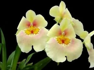 Amazing-Miltoniopsis-Andrea-West-pansy-orchid-blooming-size-fragrant