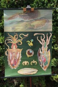 Carte-a-Rouler-Schulwandkarte-Murale-Calmar-Animaux-Tableau-D-039-Apprentissage