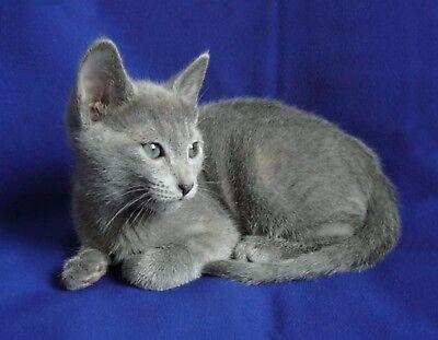 Metal Refrigerator Magnet Sitting Russian Blue Kitten Kittens Cat Cats Ebay