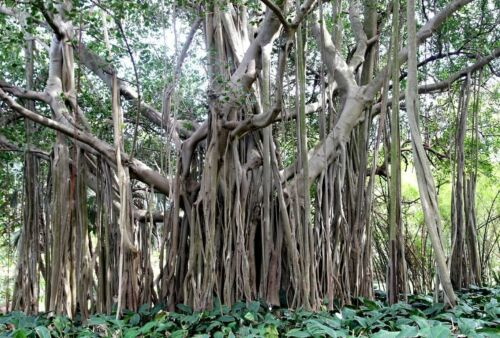 Ficus benghalensis 25 x Figuier Fig Tree seeds