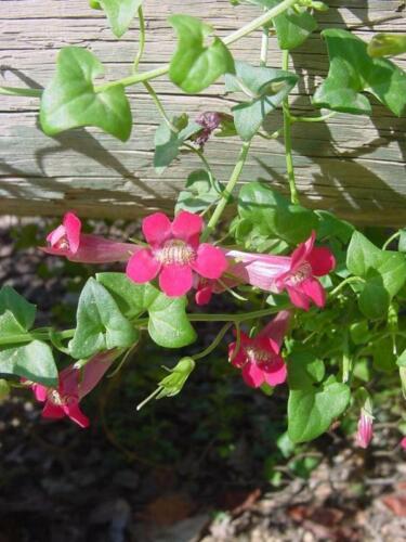 Snapdragon vigne ROVING SAILOR des centaines de fleurs rares dans la culture 30 graines