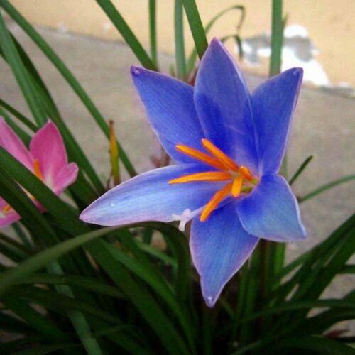 Gorgeous Rain lily Perennial Bulbs Impressive Dark Purple Home Garden Flower Top