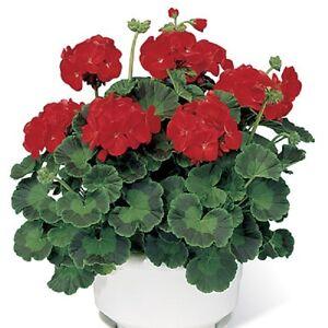 15-Geranium-Seeds-Pinto-Premium-Scarlet