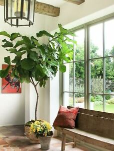 Ficus Lyrata - 'Fiddle Leaf Fig' Tree - Houseplant | eBay