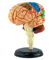 Brain Human Anatomy Model/puzzle,4d Kit 26056 Tedco Science Toys