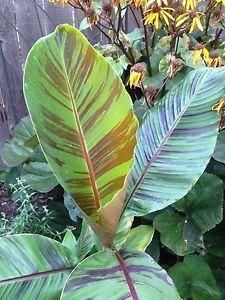 4-graines-BANANIER-DE-L-039-HIMALAYA-Musa-Sikkimensis-G170-Darjeeling-Banana-Seeds