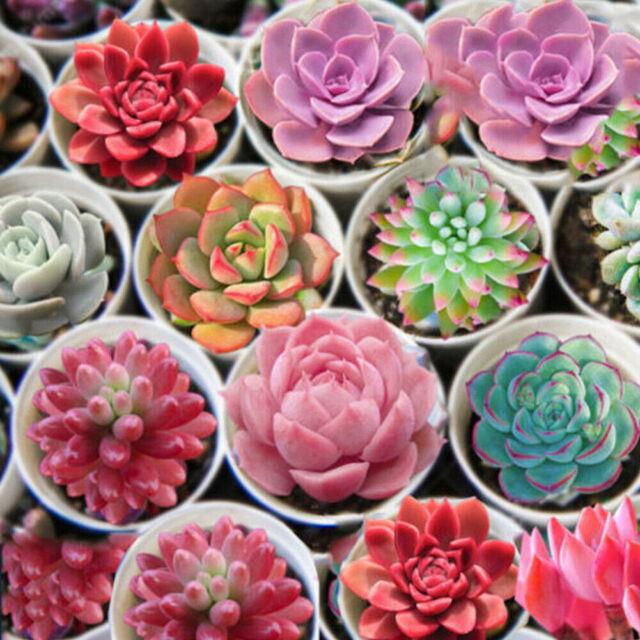 100 Seeds Mixed Lithops Seeds Living Stones Succulent Plant Bonsai Garden Decor