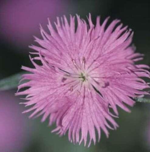 MOLLE Elke rosa antico Dianthus-Plumarius