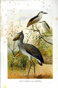 Old-Antique-Print-Natural-History-1895-Night-Heron-Boatbill-Birds-Colour-19th