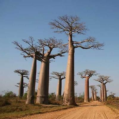 Adansonia Madagascariensis Seeds - Baobab Tree - Excelent Bonsai!!