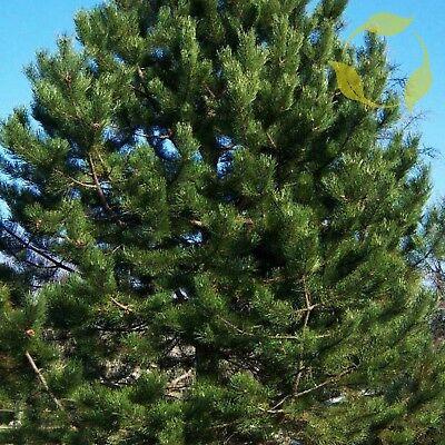 Plants Seeds Bulbs 10 Austrian Black Pine Tree Seeds Rare Evergreen Bonsai Pinus Nigra Garden Patio Breadcrumbs Ie