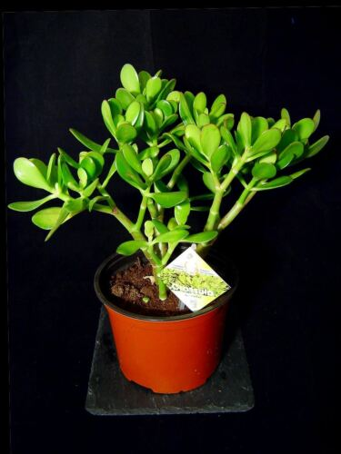 1 Pachira Aquatica Money Tree Evergreen Indoor Garden House Plant @ Pot Bonsai