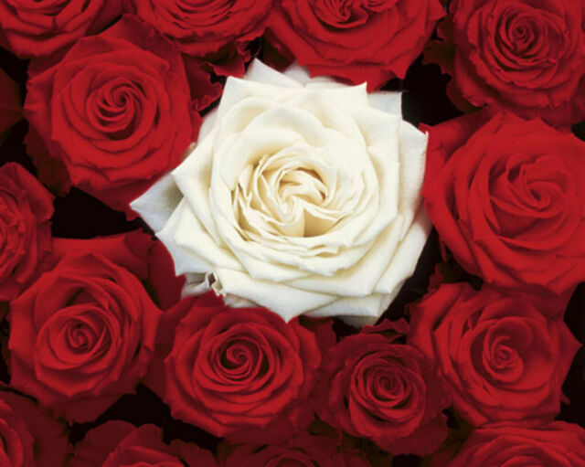 Bed Of Roses White Rose Surrounded By Red Rose Romantic Love