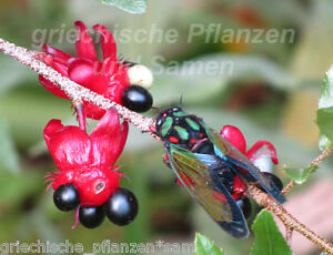 Mickey-Maus-Pflanze-6-Samen-Kuebelpflanze-Ochna-serulata