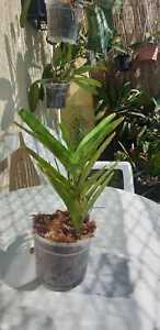 Vanda-coerulea-Neuimport-Thailand-hat-schon-geblueht-grosse-Pflanze-blaeuliche-Var