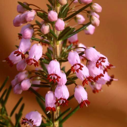 100 graines Erica manipuliflora ssp anthura