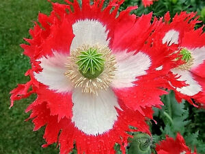 500-DANISH-FLAG-QUEENS-POPPY-Papaver-Somniferum-Danebrog-Flower-Seeds-Comb-S-H