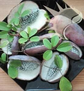 Akebia-quinata-Schokoladenwein-1-000-10-000-Samen