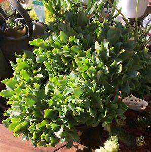 1head Gray Euphorbia abdelkuri Euphorbiaceae Succulent plants Garden Plants