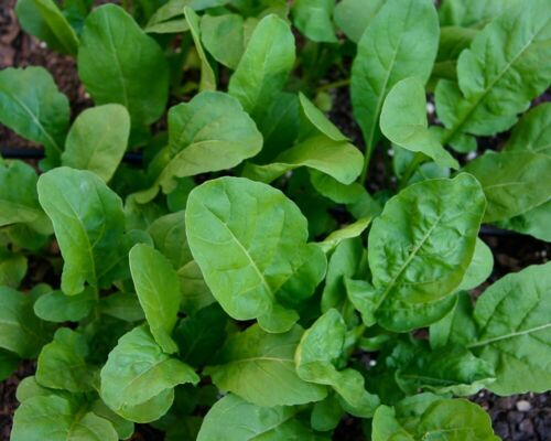 1.000+ Samen Salat-Rauke Arugula seeds Rucola coltivata Rukola Ölrauke