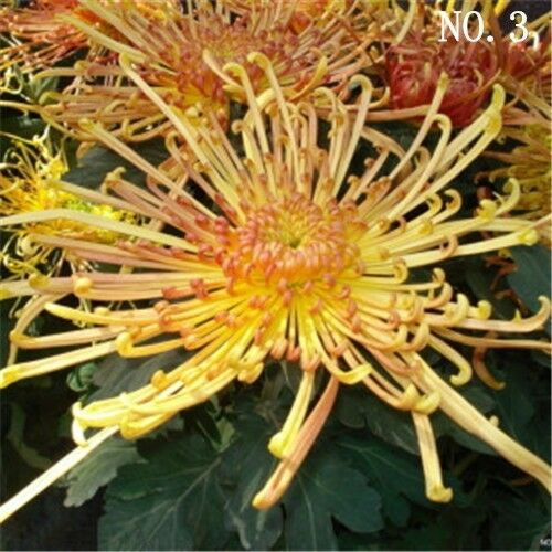 Red yellow Chrysanthemum seed  courtyard plant balcony decoration 30 seeds NO.3