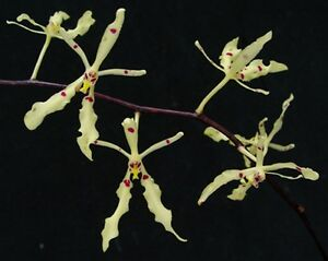 Rare-orchid-species-seedling-plant-renanthera-citrina