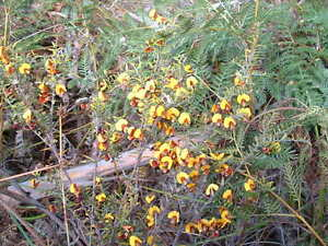 Candlesticks  15 seeds Richea scoparia